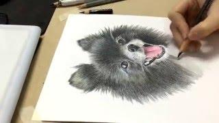 Speed drawing pomeranian- วิธีวาดรูปสีไม้ ปอมเมอเรเนียน