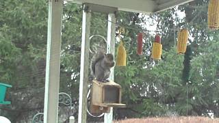 Suburban Garden - Acrobatic Aerial Antics_real Ninja Squirrel