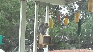 Suburban Garden - Acrobatic Aerial Antics_real Ninja Squirrel