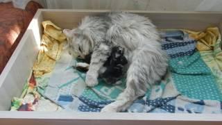 Кошка ( курильский бобтейл) принесла котят// Жизнь в деревне