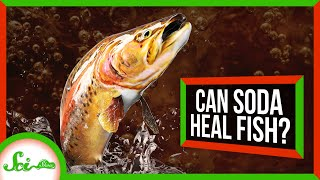 Can Soda Save a Dying Fish?