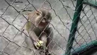 Monkey Teasing Thumbnail