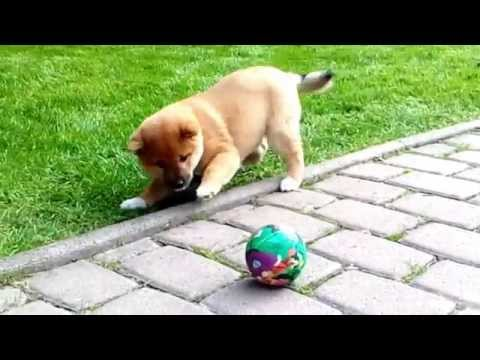 AMI - little sweet Shiba-inu    ... and her first ball