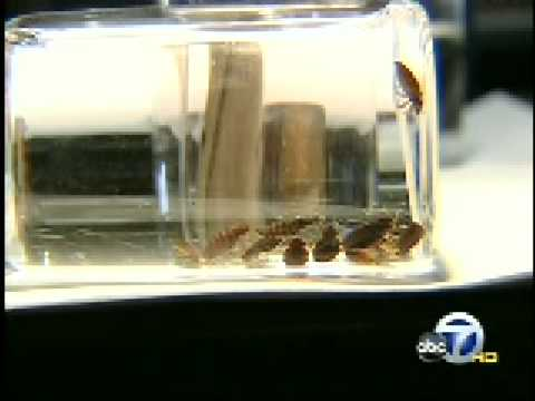 Kgo tv san francisco bed bugs invading bay area youtube for Bed bugs san francisco