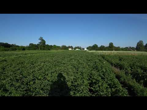 Картлофель Обзор грядок с картофелем  Новые Вкусные Урожайные сорта картофеля Сорта картошки
