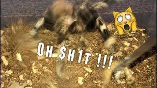 Tarantula Feeding Video #19 ~ CALM DOWN !!! thumbnail