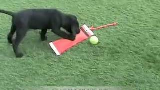 Training Your Labrador Retriever Young