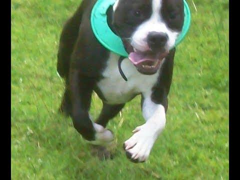 English Bull Terrier X Staffordshire Bull Neo & Barmy Bichon Peppa