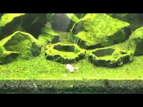 Sulawesi Shrimp White Orchid tank