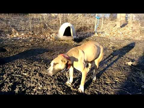 blackjack pitbulls mims blood | FunnyDog TV
