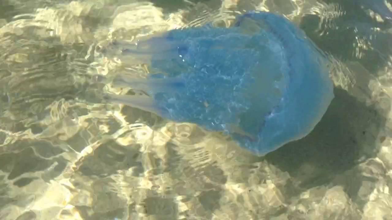 медузы средиземного моря тунис фото поверхности