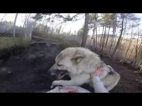 Wolfdog Lapdog
