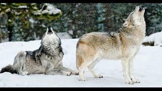 WEBINAR   The Legendary Wolves of Yellowstone