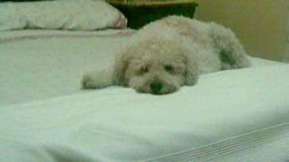 Yuri: My Half Spanish Water Dog (no One)
