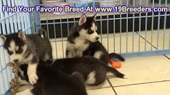 Siberian Husky, Puppies, Dogs, For Sale, In Jacksonville, Florida, FL, 19Breeders, Orlando