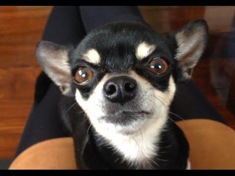 [Dog] Muku the dog chihuahua of tea cup size
