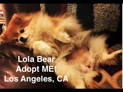 adopted!-lola-bear-fostered/trained-by-ruff-beginnings-rehab