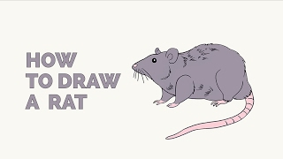How to Draw a Rat - Easy Step-by-Step Drawing Tutorial