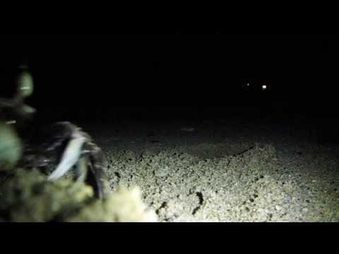 Crab in Fiji - Throwing sand at my camera
