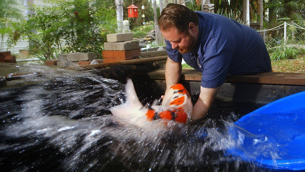 60 000 japanese koi fish youtube for Koi pond japan
