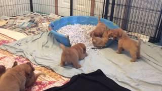 Dogue de Bordeaux Pups 4 Weeks & 6 Days Old