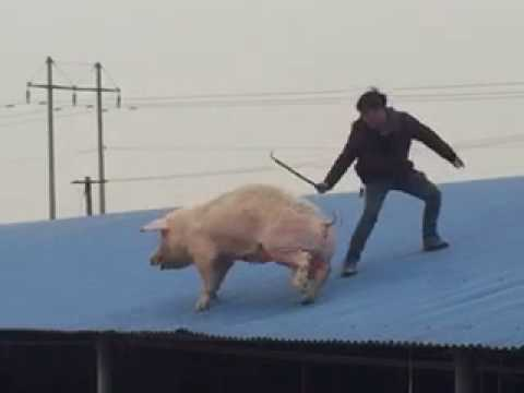 Pigs run on the roof