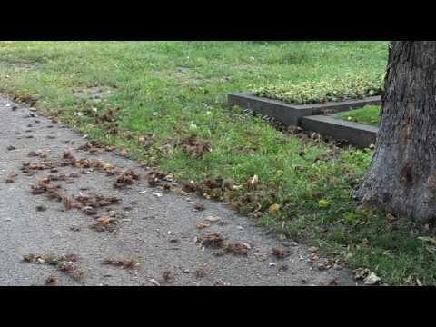 European Hamster In Vienna 3