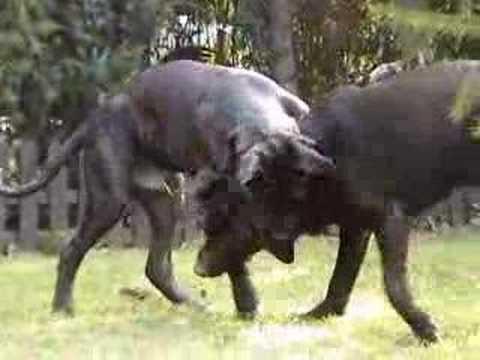 Cane Corso Vs Labrador Youtube