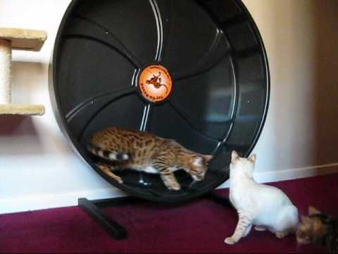 Thumbnail for Cat Video Toy-Go-Round Cat Wheel -Bengal cats