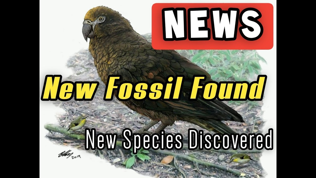 News New Discovery Species Heracles Inexpectatus Giant Parrot Nicknamed Squawkzilla