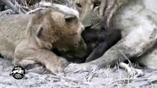 ライオンと猿の戦い.