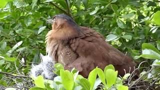2015.05.19黑冠麻鷺雛鳥叫聲&公鳥伸懶腰