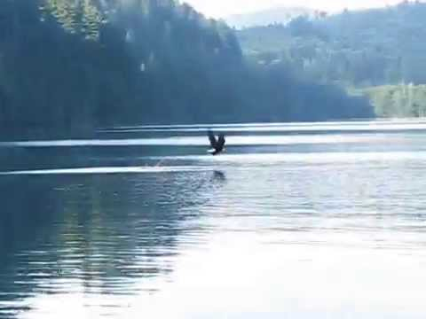 Bald Eagle vs. Osprey (Short)