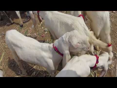 Low Price Malir Memon Goth Bakra Mandi Video 2019 || Livestock Market Karachi