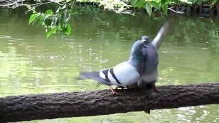和田堀公園にいた鳩、最初は求愛行動かと思って見てましたが。ケンカの...