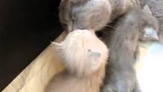 Подборка приколов. Кошки. Британская кошка и ее котята.
