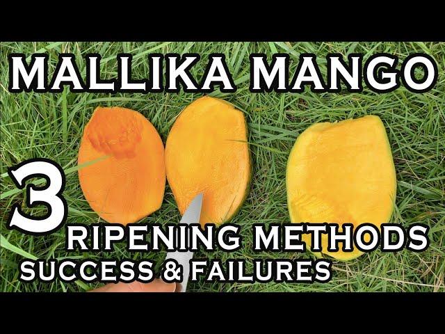 Mallika Mango: Detailed Timeline on 3 Ripening Methods- Successes & Failures