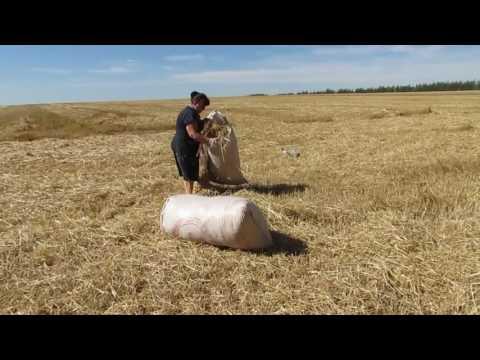 На пшеничном поле заготовка соломенной мульчи для сада и огорода! Сергей Дьяков.mp4