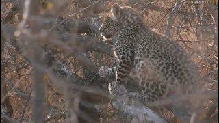 Pt 1 Safari Live's Sunrise Safari Drive at 5:36 AM on Oct 16, 2017 ( Shadow & Cub ) thumbnail