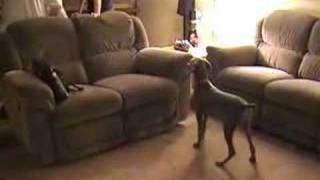 Lola The Weimaraner Vs Isis The Pharaoh Hound
