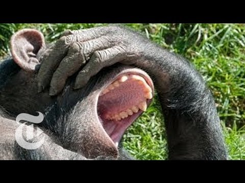 Why Is Yawning Contagious? Looking to Chimps for Answers | The New York Times