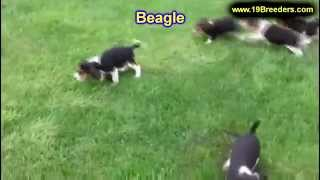 Beagle, Puppies For Sale, In, Bellevue, Washington, Wa, Yakima, Kitsap, Thurston, Clark, Spokane, Sn