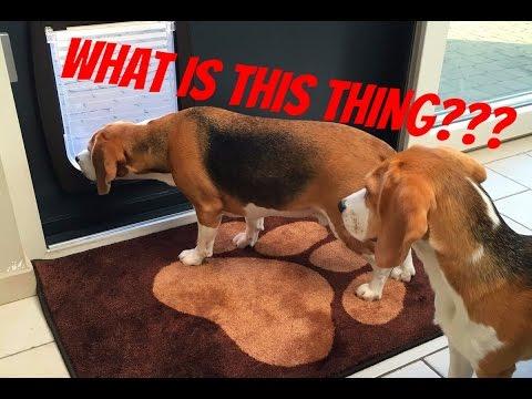 Beagles VS Doggy Door