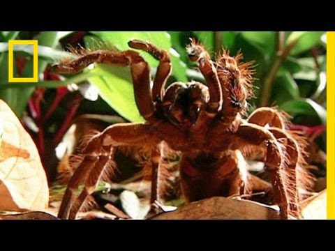World's Biggest Spider Devours Mouse | National Geographic