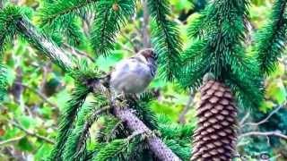 Zvuky prírody - Vrabce
