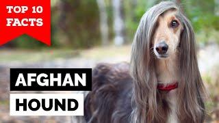 Afgan Hound  Top 10 Facts