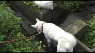 紀州犬との散歩映像。癒されます。