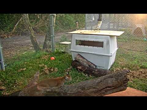 Bobcat Rehab Intensive Care Cam 03-20-2018 16:24:43 - 17:02:25