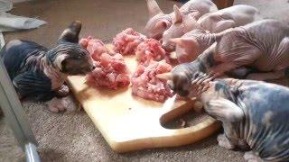 Котята сфинксы кушают