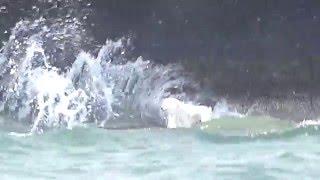 仔犬のもとへ向かうおとうさん犬。潮流が激しく行く手を妨げます。 映像...